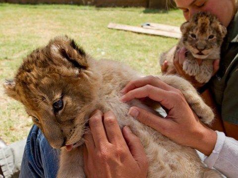 Львенок в контактном зоопарке в ЮАР