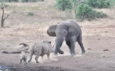Слон против носорога