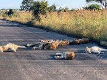 Львы на дороге в ЮАР