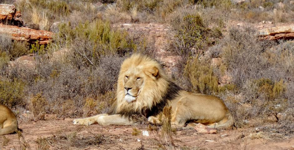 Львы на сафари