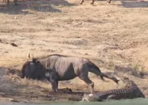 Бегемоты спасают антилопу от крокодила