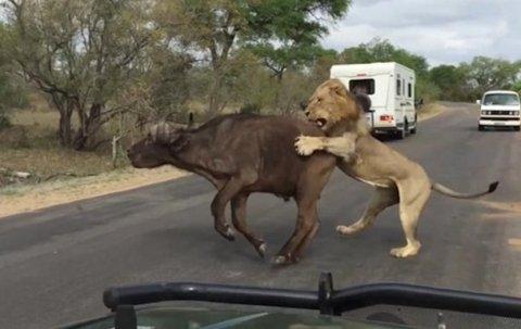 Охота льва на буйвола